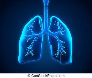 bronches, poumon