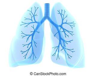 bronchi, 肺