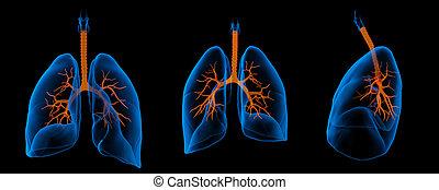 bronchi, 肺, 医学, -, イラスト, 目に見える, 3d