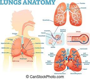 bronchi, informationen, erzieherisch, satz, alveoli., lungen, medizinische abbildung, lappen, diagramm, vektor, lunge, poster., koerperbau