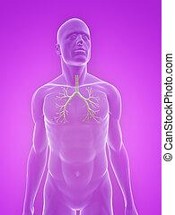 bronchi, menschliche