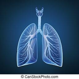 bronchi, umano, polmoni, raggi x