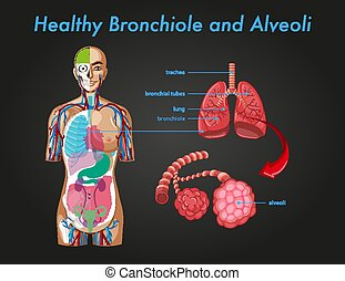bronchiole, alveoli, sano