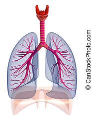 bronquios, humano, aislado, pulmones