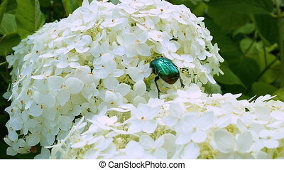 Bronze beetle on Hydrangea Hortensia inflorescence, Beautiful blossoming of garden flower at summer day close up. Full HD video, 1080p.