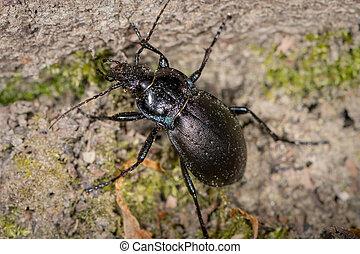 Bronze Carabid ground beetle in a forest near Vienna - ...