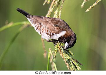 Bronze mannikin bird sitting in stems of grass to eat fresh ...