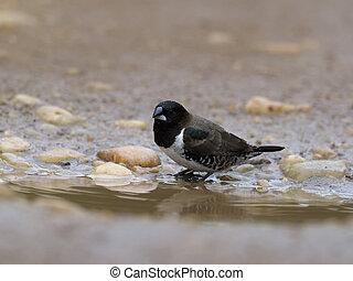 Bronze mannikin, Lonchura cucullata, Single bird by water, ...