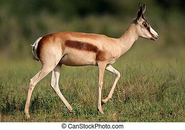 Bronze springbok antelope - A springbok antelope (Antidorcas...