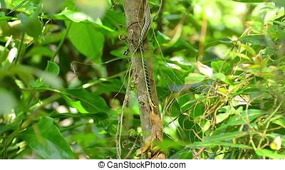 Bronzeback snake feeding on a frog in a paper tree in...