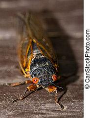 Head on macro view of Brood IX cicada.