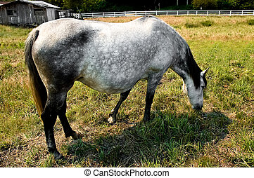 Brood Mare - Pregnant brood mare grazing peacefully in a...