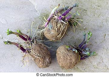 brotar, batatas, semente