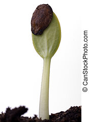 brotar, semente, melancia