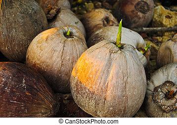 brote, de, árbol del coco