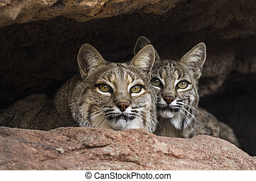 Brothers - Bobcat brothers gazing out from the safety of ...
