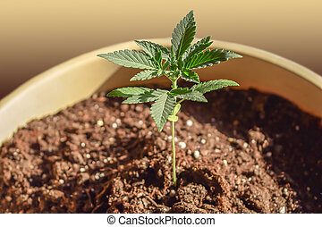 broto, cânhamo, marihuana, cannabis