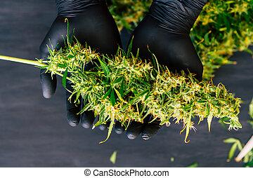 broto, conceitos médicos, cima, marijuana, grande, cannabis, fresco, cultivar, mãos, fim, colheita, crescer, grower, homem