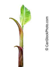 broto, planta banana
