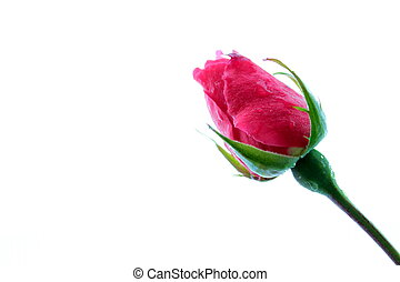 broto, rosa