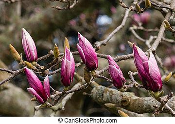 brotos, árvore magnólia