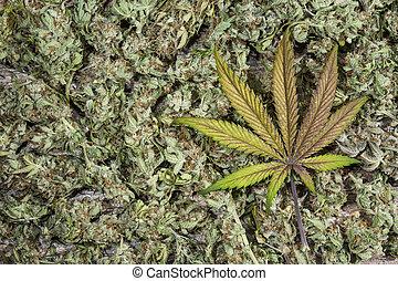 brotos, cannabis, amarela, roxo, folha