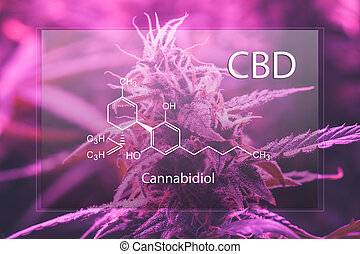 brotos, fórmula, cannabis, cannabidiol, cbd, psychoactive, non, marijuana