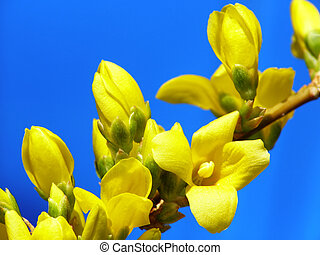 brotos, forsythia