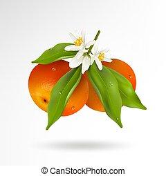 brotos, gotas, frutas, realístico, cítrico, folhas, florescer, tangerina, isolado, ilustração, dois, água, experiência., vetorial, verde, ramo, penduradas, mandarin, flores brancas, ou