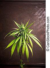 brotos, madeira, planta, marijuana, tabela