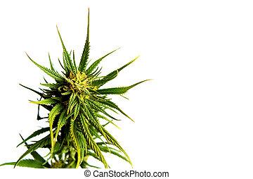 brotos, planta, branca, marijuana, isolado