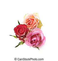 brotos, rosa, composição, isolado