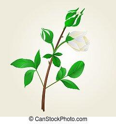 brotos, rosa, folhas, caule, vindima, branca, vector.eps