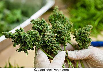brotos, -, trabalhador, grande, segurando, cannabis, fresco, luvas, série, verde, marijuana