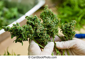 brotos, -, trabalhador, marijuana, grande, cannabis, fresco, luvas, segurando, série, verde