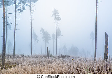 brouillard, forêt, pin