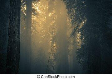brouillard, forêt, séquoia