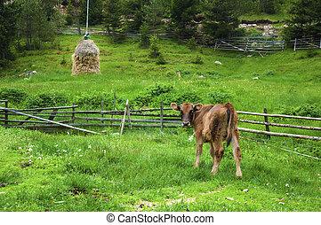 Broun young calf in green mountain meadow