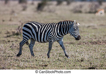 brouter, savane, plaines, brun, sec, zebra, africaine, grazing., prairies