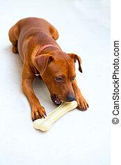 browin, comer, mini, cão, pinscher, osso