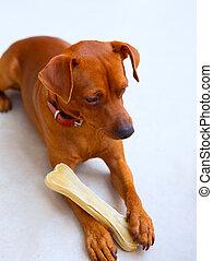 browin mini pinscher dog holding a bone selective focus