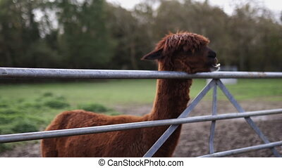 Brown alpaca standing on the muddy ground, chewing and resting its head above a metal fence with a blurry forest as background