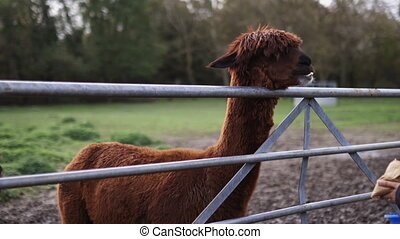 Brown alpaca chewing with its eyes covered by hair, standing behind a fence and in front of a brunette woman trying to hand-feed it