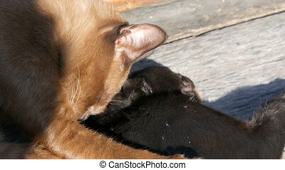 Brown and black cat played biting lick each other outdoors...