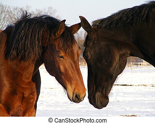 Brown and black horse communicating