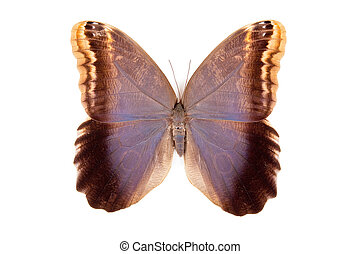 Brown and blue butterfly Caligo Brassiliensis isolated on ...