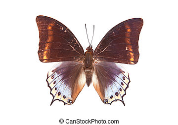 Brown and blue butterfly Charaxes euryalus isolated on white background
