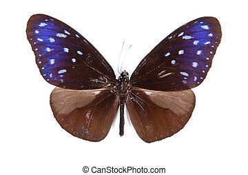 Brown and blue butterfly Euploea mulciber isolated on white background