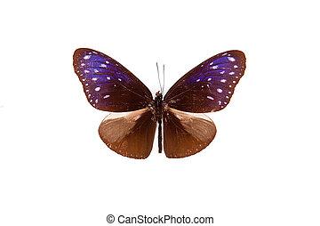Brown and blue butterfly Euploea paenareta isolated on white background