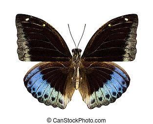 Brown and blue butterfly Hypolimnas monteironis isolated on whit